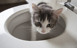 A toilet-trained cat isn't a fantasy, if you wean them slowly
