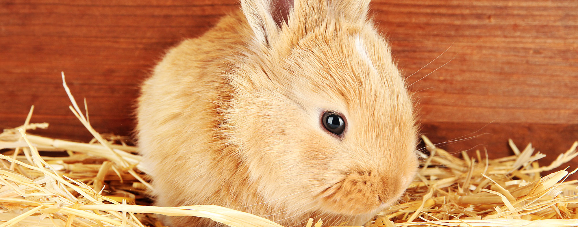 A supply of fresh produce is what you should feed a rabbit