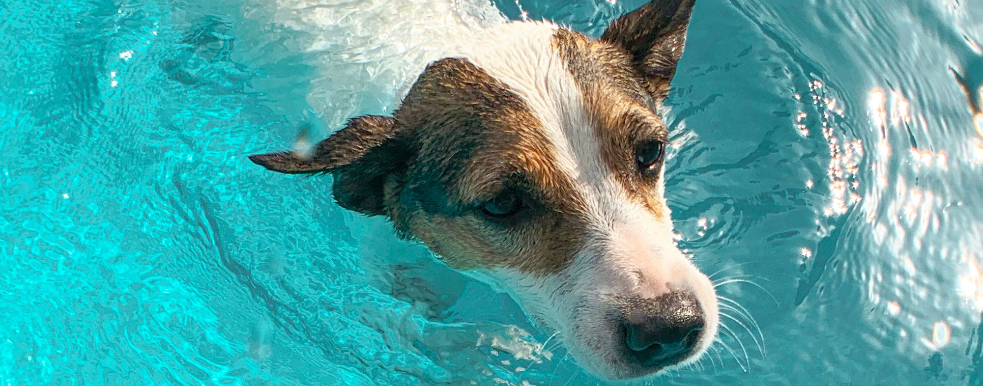 Swimming in the pool is perfect for dogs in hot weather