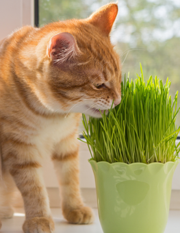 Nepetalactone is what is inside catnip that gives cats a kick