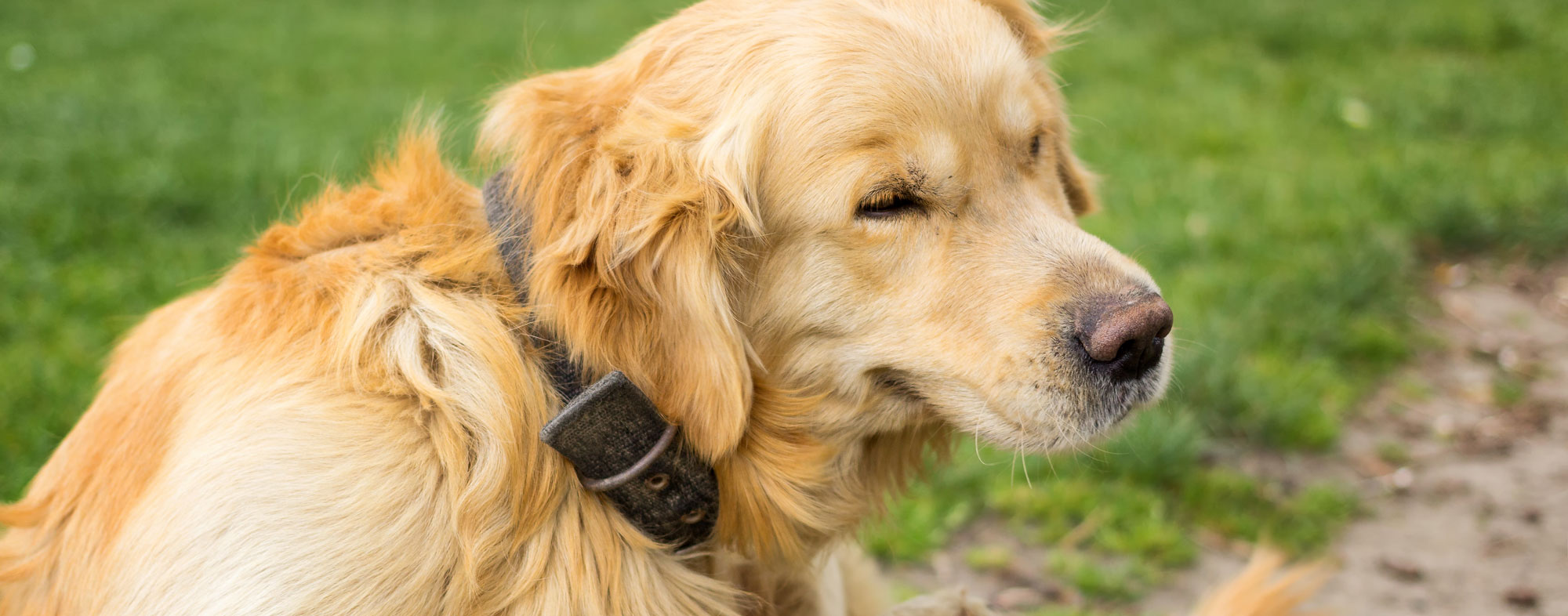 Symptoms of allergies in dogs include sneezing, as in humans