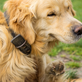 Dogs with allergies will show symptoms, by coughing or sneezing