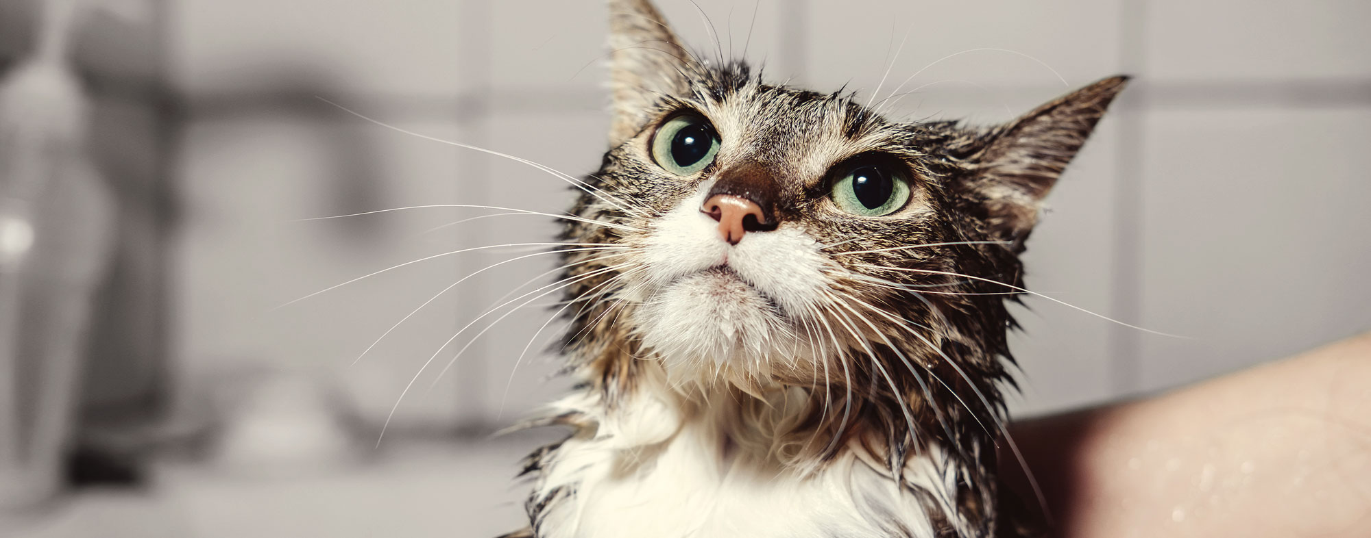 A flea and tick shampoo will rid your cat of pests in one wash