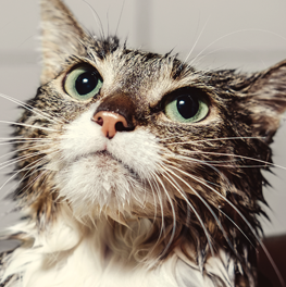 Care for your cat's health with a flea and tick shampoo