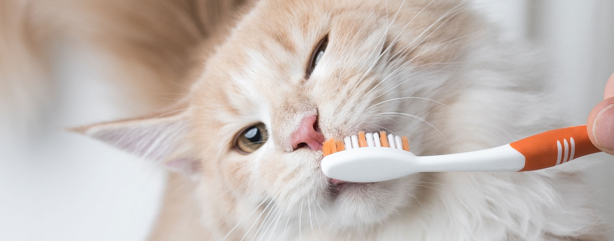 A special chicken paste makes cleaning your cat's teeth easy