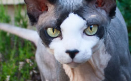 A hairless cat could be the perfect hypoallergenic pet for you