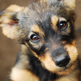 Discuss dog breeds with your family before adopting a puppy