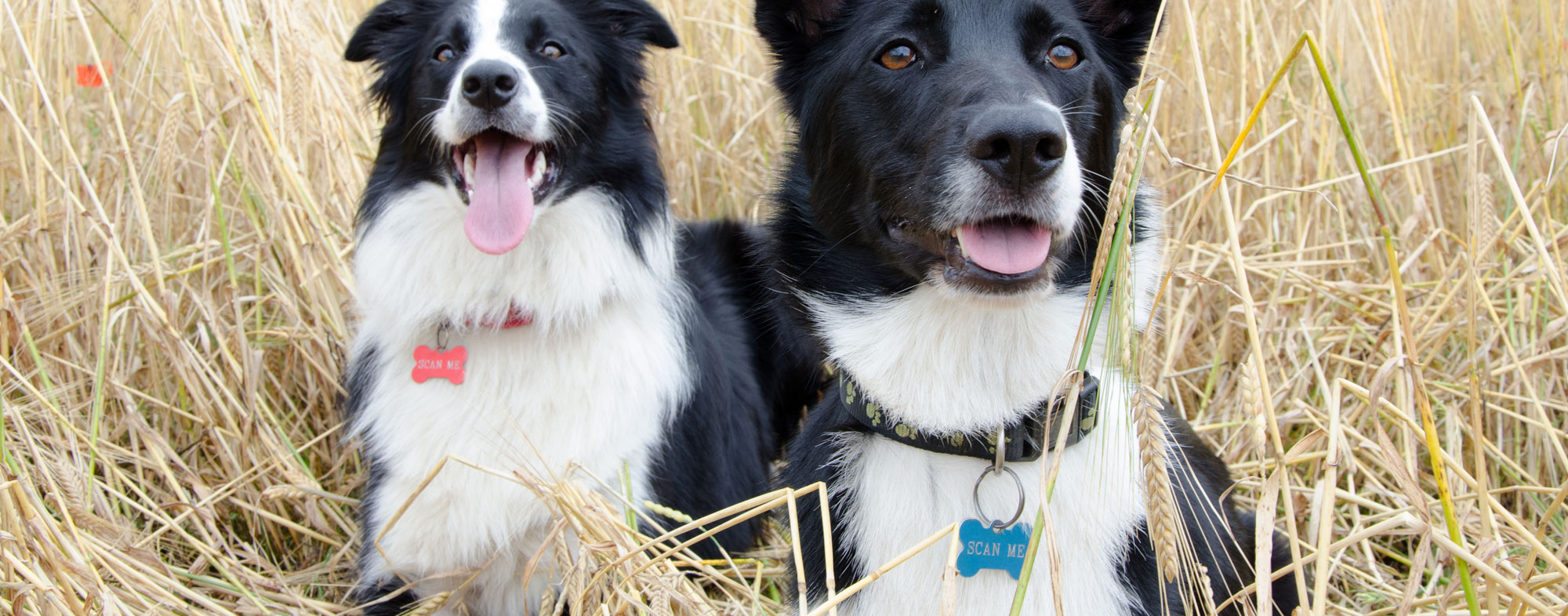 Securing an ID for your pets, it'll be easier to locate them