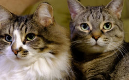 Resist the temptation to use one litter box for multiple cats