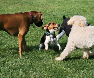 Dogs playing in a dog park.