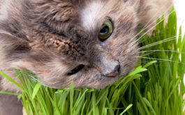 Stop your cat from devouring your plants by investing in cat grass