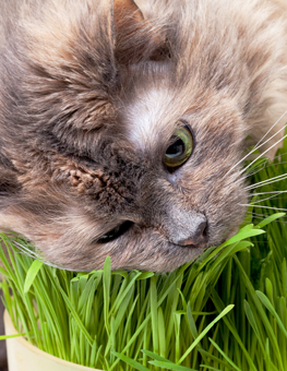 Sprinkle a little chili powder to stop your cat from eating plants