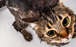 Have all your supplies in hand before you give your cat a bath