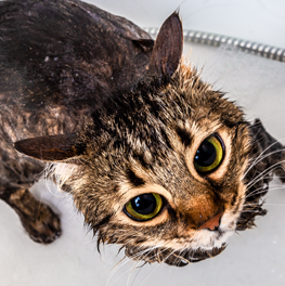 Rinsing twice, with the right shampoo, is how you bathe your cat