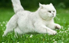 It's possible to train an outdoor cat to walk with you on a leash