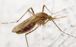 After feeding on blood, a female mosquito lays eggs on a host