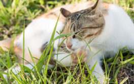 Until treated, a cat with fleas will repeatedly scratch their body
