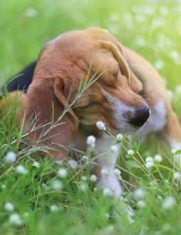 A dog with fleas will show symptoms like constant scratching