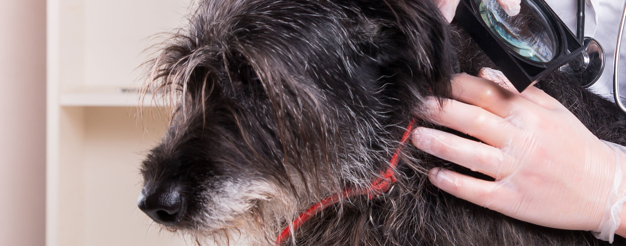 Worms in a dog's poop likely points to a tapeworm infection