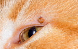 When you find a tick on your cat, it may already be dead
