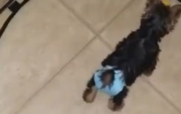 You can improvise doggy diapers for your older dogs