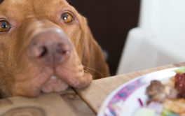 Breaking eye contact, you can stop a dog from begging for food