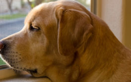 A dog with separation anxiety is likely to wait by the window