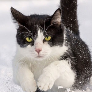 Cat charging through snow. Practice cold weather pet safety with your pets.
