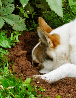 It's difficult to stop your dog from digging holes in the garden