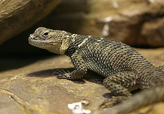 320px-spiny_lizard_-_houston_zoo