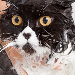 Shampooing your cat by hand, you'll know how to give them a bath