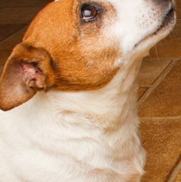 Your dog will look into your face full of guilt after an accident