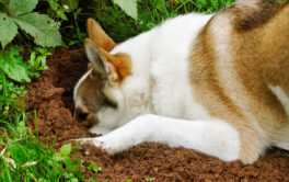 If you dog won't stop digging holes, entice him to dig for his toys