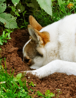 Once your dog catches a scent, they'll be digging holes in your yard