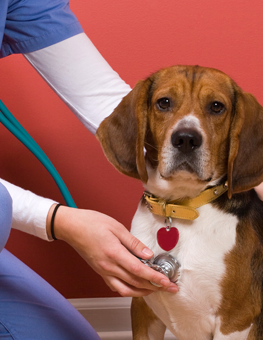 A veterinarian will assess your dog's heart rate and general health