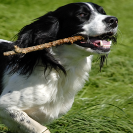 If your dog has hallitosis, his stick chewing may not be the reason