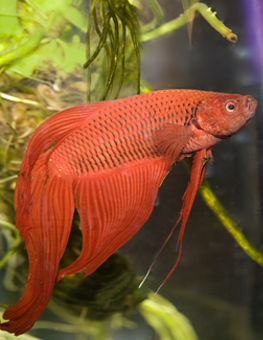 Your Betta fish will want to swim in a steady temperature of 78-80°F