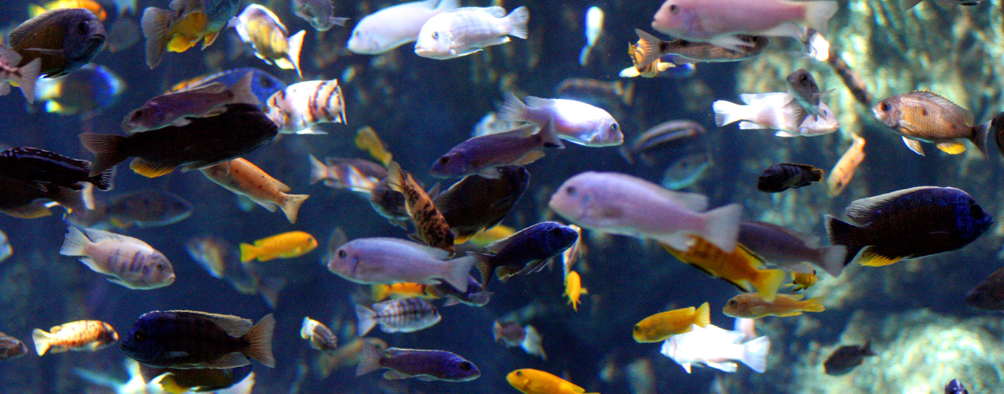 Assemble an eclectic and colorful community of fish for your tank