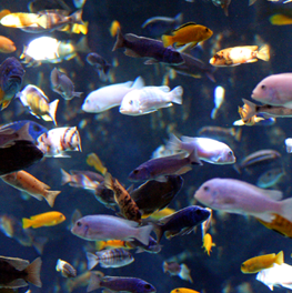 A freshwater fish community can grow inside your home aquarium
