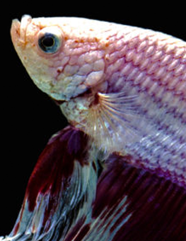 When healthy, your Betta fish's scales and fins will shine brilliantly