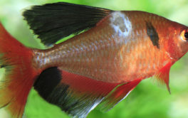 Discoloration on your fish's scales may be symptoms of a disease