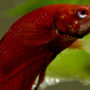 A coldwater fish may seem lethargic if the water temperature rises