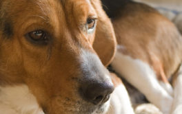 If untreated, a sick or elderly dog with fleas could develop tapeworms