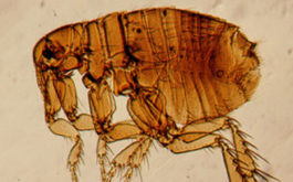 Without a host, the adult flea life cycle is no more than a few days