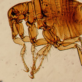 The life cycle of a flea is dependent on the proximity of a host