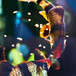Your fish aquarium will be alive and vibrant if fed a healthy diet