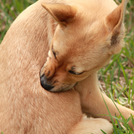 If your dog won't stop biting himself, this could be a symptom of fleas