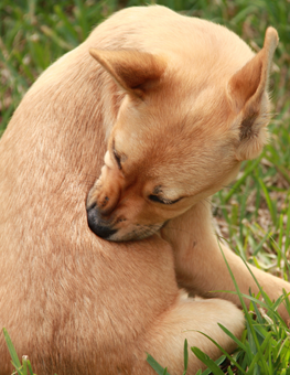 If your dog won't stop biting himself, this could be a symptom of fleas. How do you know if your dog has fleas?