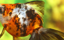 Your common freshwater aquarium fish can indeed get overweight
