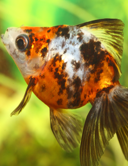Overfeeding common freshwater aquarium fish could cause obesity
